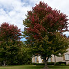 Green turns to red on a majestic tree in the Arbor Hills area last week.<br /> Globe | Laurie Sisk