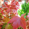 Globe | T. Rob Brown<br /> Leaves turn in downtown Joplin as fall colors begin.