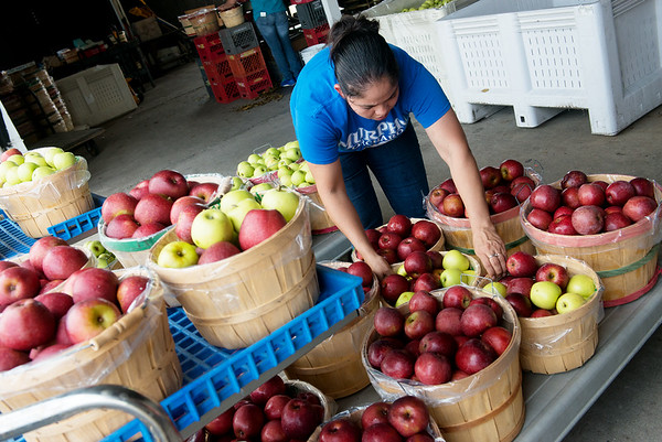 Globe/Roger Nomer<br /> Ruby Rosas stocks apples on Tuesday at Murphy Orchard.