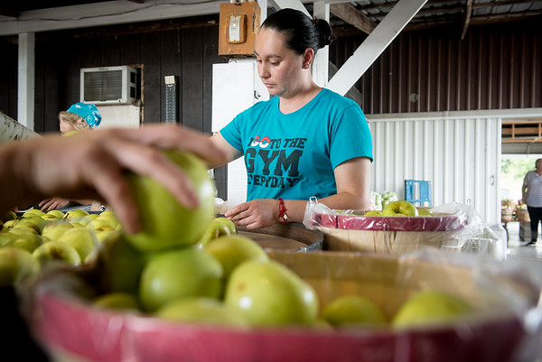 Globe/Roger Nomer<br /> Vanessa Trujillo sorts apples on Tuesday at Murphy Orchard.