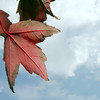 Globe/Roger Nomer<br /> Storm clouds gather behind a colorful fall leaf on Friday afternoon.
