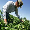 Globe/Roger Nomer<br /> Mark Larson looks over his soybean crop in his field near Oronogo on Monday afternoon.