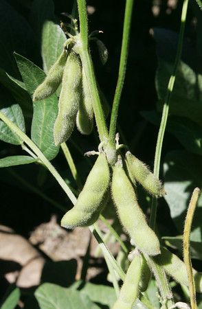 Globe/Roger Nomer<br /> Soybean plant at Mark Larson's farm near Oronogo.