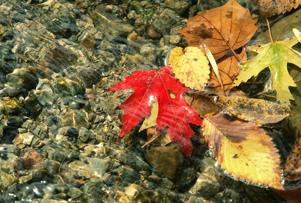 Globe/Roger Nomer<br /> Colorful fall leaves float in Shoal Creek on Friday afternoon.