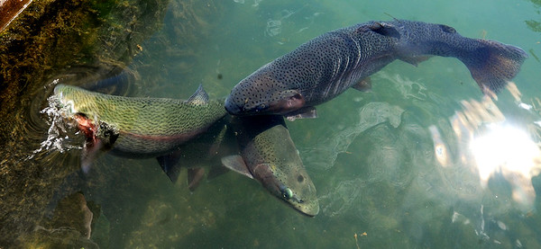 Large trout, some as large as 20 inches, forage for food pellets near the fish hatchery at Roaring River State Park on Tuesday. Paul Spurgeon, hatchery manager for the Missouri Department of Conservation said the park is stocked with about 250,000 trout annually.<br /> Globe | Laurie Sisk