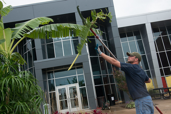 Globe/Roger Nomer<br /> Jason Manderscheid, known as Pittsburg State's greenhouse guy, trims a banana tree in front of PSU's rec center on Monday.
