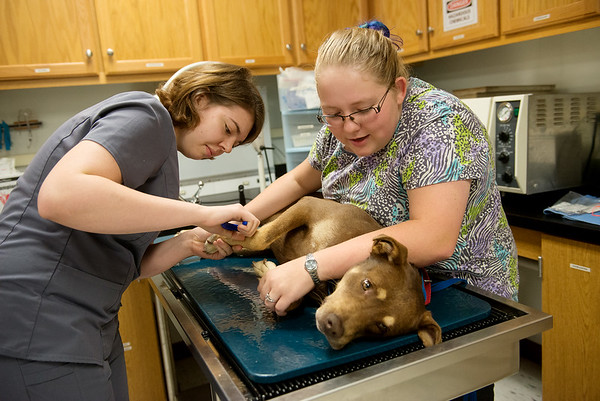 Globe/Roger Nomer<br /> First-year vet tech students Katie Suedel, Bentonville, left, and Maggi Leupold, Brumley, trim Carver's nails on Tuesday at Crowder College.
