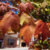 A tree near 6th and Virginia streets on Wednesday give an indication that more Fall colors are on their way.<br /> Globe | Laurie Sisk