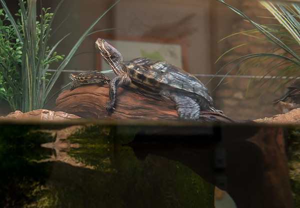 Globe/Roger Nomer<br /> Turtles lounge on a rock on Friday at the Wildcat Glades Conservation & Audubon Center.