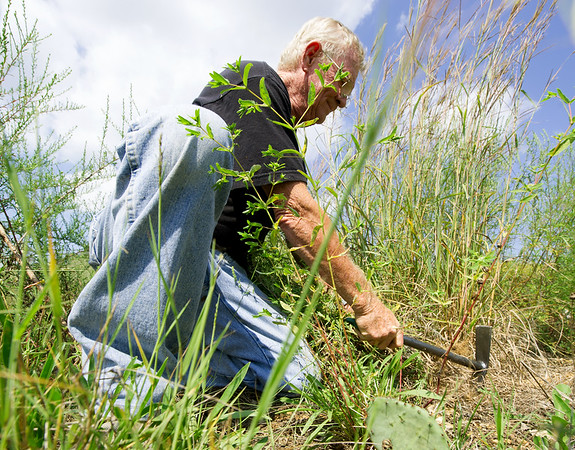 Randal Switzer, member of the Chert Glades Chapter of Missouri Master Naturlaists, clears invasive plants in preparation for the planting of pollinator-friendly plants at the Wildcat Glades trailhead near Redings Mill Bridge on Friday. <br /> Globe | Laurie Sisk