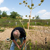 Randal Switzer of the Chert Glades Chapter of Missouri Master Naturlaists, clears invasive plants and debris near a rattlesnake master in preparation for the planting of pollinator-friendly plants at the Wildcat Glades trailhead near Redings Mill Bridge on Friday. The rattlesnake master provides benefits for bees and other pollinators and also ward off leaf-eating insects. <br /> Globe | Laurie Sisk