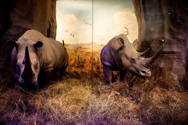 Globe/Roger Nomer<br /> These white rhinoceros were donated by Joplin's Harry Cornell Jr. to the Wonders of Wildlife National Museum and Aquarium.
