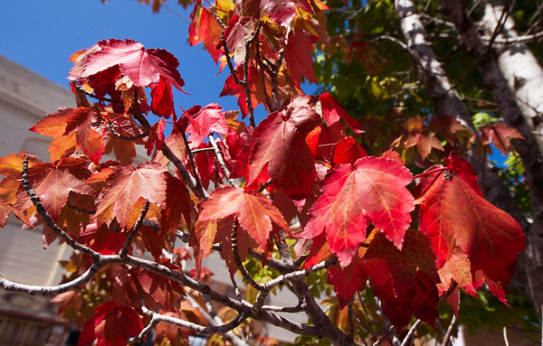 Brilliant red leaves on a tree near 6th and Virginia streets on Wednesday give an indication that more Fall colors are on their way.<br /> Globe | Laurie Sisk