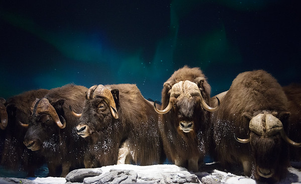 Globe/Roger Nomer<br /> A snowy scene with musk ox is posed against the background of the Northern Lights on Tuesday at the Wonders of Wildlife National Museum and Aquarium.