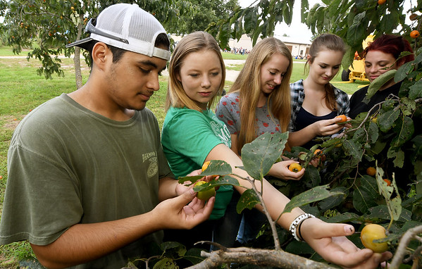 From the left: Diamond FFA students Trenton Odom, Maggie Culbertson, Cassie Giles, Nova Brown and Marissa Caywood check out persimmons in a grove on Thursday at the University of Missouri Southwest Research Center near Mount Vernon. <br /> Globe | Laurie Sisk