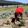 Redwood Gardens landscaper Brandon Miller pulls weeds from the community garden on Wednesday at the senior housing development.<br /> Globe | Laurie Sisk