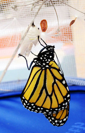 A monarch butterfly emerges on Monday.<br /> Photo by Jeff Cantrell