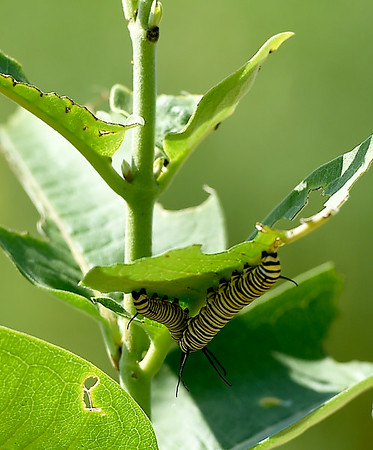 A pair of monarch caterpillars feed on the underside of a milkweed plant on Wednesday at the Shoal Creek Education Center,<br /> Globe | Laurie Sisk