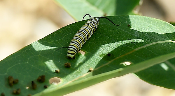 A monarch caterpillar feeds on a milkweed plant on Wednesday at the Shoal Creek Education Center,<br /> Globe | Laurie Sisk