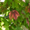 Leaves begin to change colors on the first day of Fall in Joplin.<br /> Globe | Roger Nomer