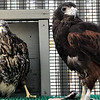 Alexander, left, sits with foster mom Tafi shortly after his arrival at Wild At Heart Inc. raptor rescue in Arizona in July 2018. Rescue officials believe he had fallen out of his nest and lacked proper nutrition when he was turned over to them, leading to a splayed-legs condition. Courtesy | Wild At Heart Facebook page
