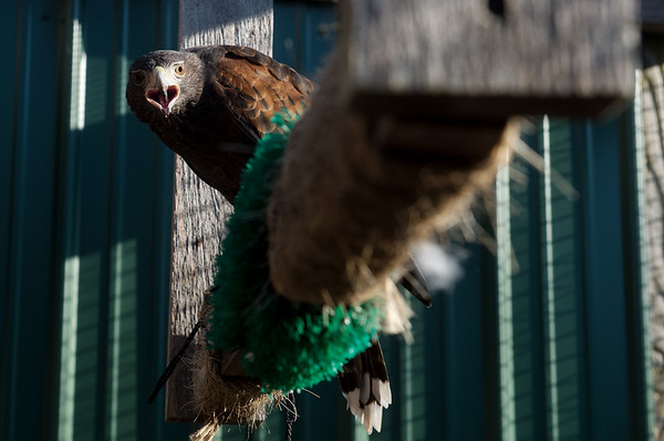 Alexander, a Harris's hawk, is the newest addition to Pittsburg State's raptor program.<br /> Globe | Roger Nomer