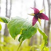 BEN GARVER — THE BERKSHIRE EAGLE<br /> A trillium blooms in Kennedy Park in Lenox, Monday, May 13, 2019, proof that the seasons are changing. The trees are greening out with foliage and spring slowly loses its grip on the cold.