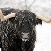 BEN GARVER — THE BERKSHIRE EAGLE<br /> Snow collects on Coal, a highland steer in Lanesborough belonging to David Wilson. Tuesday November 12, 2019.