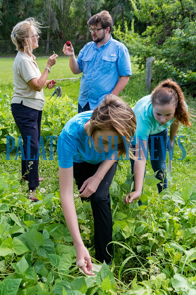 Shann Purinton, left rear, and Brian Barfield, 18, compare the taste of the harvested plums and green beans while Breawna Smith, 15, and Tristen Smith, 17, work on pulling green beans from the garden forest that they helped to create. Forest gardening is a low-maintenance sustainable plant-based food production system based on woodland ecosystems, incorporating fruit and nut trees, shrubs, herbs, vines and perennial vegetables. Fran Ruchalski/Palatka Daily News