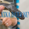 The blue eyelids of the eastern indigo snakes close just before they shed them when they're shedding their skin. Fran Ruchalski/Palatka Daily News