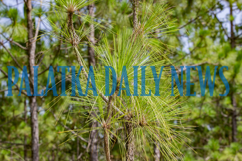 Longleaf pines growing in the Etoniah Creek State Park. Fran Ruchalski/Palatka Daily News