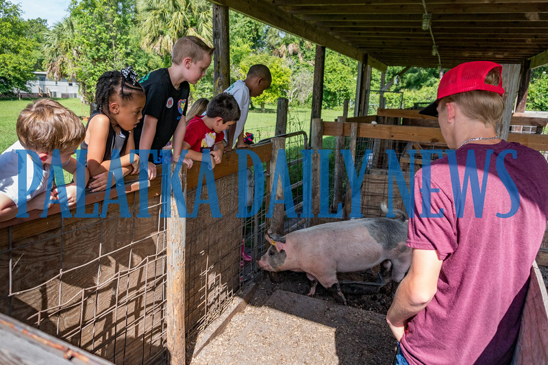 Joseph A. Long Elementary students get up close and personal with a pair of pigs at the ag day put on by Jenkins Middle School FFA students at their farm on Monday. Fran Ruchalski/Palatka Daily News
