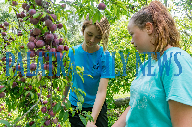 Breawna Smith, 15, left, and Tristen Lewis, 17, harvest some of the plums from the orchard that they had helped plant during their volunteer time at the Water Works. Fran Ruchalski/Palatka Daily News