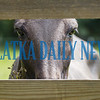 A young mule peers through the fence out onto Springside Shortcut Road on Thursday morning. Fran Ruchalski/Palatka Daily News