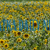 Sunflowers bloom at the U-pick operation on Springside Shortcut Rd. and SR 100. Fran Ruchalski/Palatka Daily News