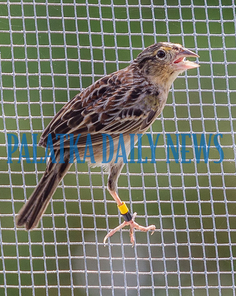 One of the year-old endangered Florida Grasshopper Sparrows being raised in the new aviary at the Welaka Fish Hatchery. Fran Ruchalski/Palatka Daily News