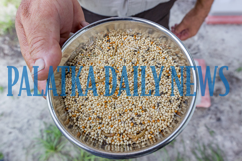 Project Manager Ken Blick holds a bowl of the bird's seed and meal worms that make up the Grasshopper Sparrow's diet. Fran Ruchalski/Palatka Daily News