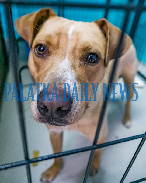 Reuben can't figure out why someone hasn't given him a furever home at the Putnam County Animal Control adoption event downtown on Friday. Fran Ruchalski/Palatka Daily News
