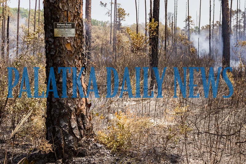 The picture on the left was of the Ocala National Forest fire on July 3, 2019 while the wilderness area was burning. There was 100% consumption of the vegetation. The one on the right shows the same area on Wednesday morning, six weeks after the fire. The regrowth is clearly evident and the forest is making a strong comeback. Fran Ruchalski/Palatka Daily News