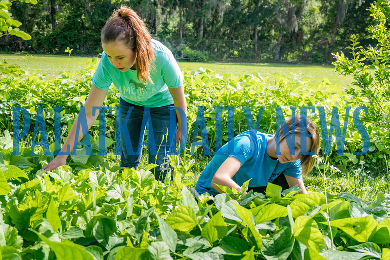 Tristen Lewis, 17, and Breawna Smith, 15, harvest green beans from the forest garden they helped to create at the Water Works. Fran Ruchalski/Palatka Daily News