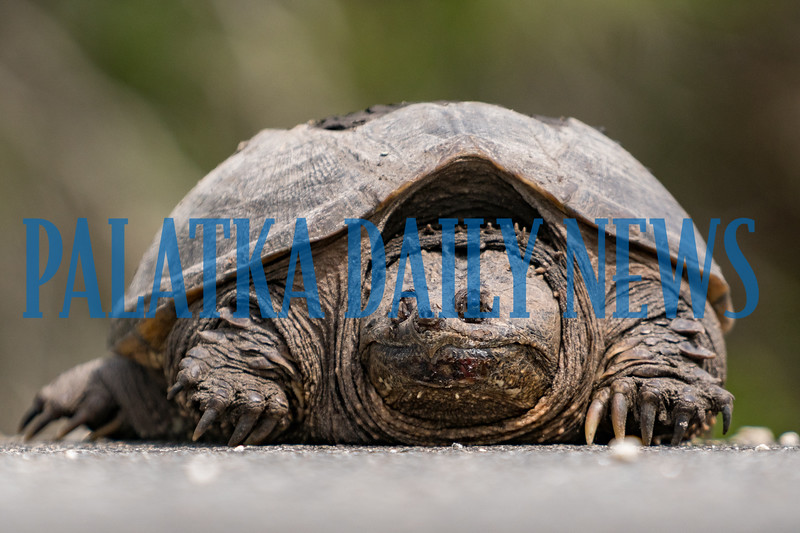 This snapping turtle was spotted alson Comfort Rd., just across the railroad tracks from Crystal Cove. Vehicles were going around it carefully, but there was not enough time for the fiesty reptile to chance making it across the road. Fran Ruchalski/Palatka Daily News
