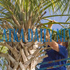 Daniel Nicholson, foreman with the city's Public Works Dept. trims one of the palm trees on St. Johns Ave. by 2nd St. on Monday morning. Fran Ruchalski/Palatka Daily News