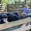Chance Clay corrals some of his cattle to treat them with fly spray to make them more comfortable. Fran Ruchalski/Palatka Daily News