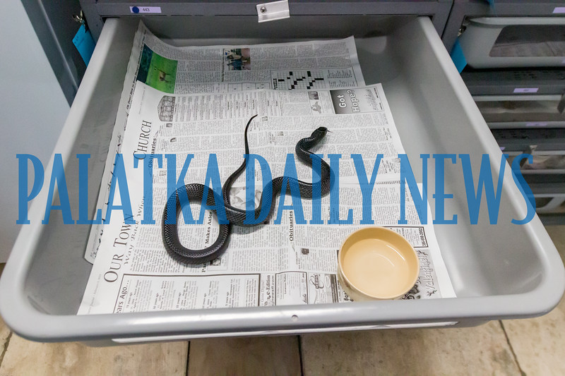 The snakes live in these trays and burrow into the layers of newspaper. Fran Ruchalski/Palatka Daily News