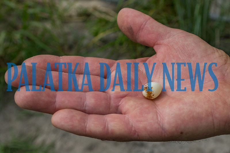 Project Manager Ken Blick holds one of the Florida Grasshopper Sparrow eggs found on the floor of the new aviary. Fran Ruchalski/Palatka Daily News