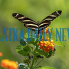 A Zebra Longwing Butterfly checks out some flowers out along State Road 100 near Putnam Hall on Friday morning. Fran Ruchalski/Palatka Daily News