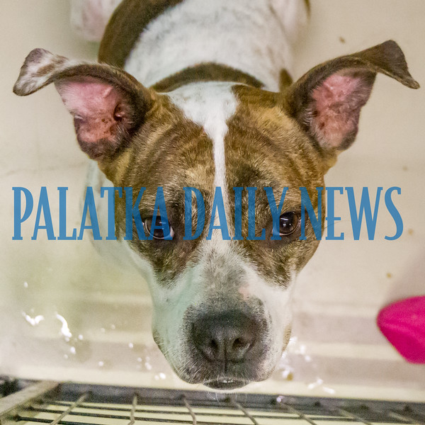 Leila is waiting patiently to go home with you at the Putnam County Animal Control dog adoption event at 6th and Reid Sts. on Thursday afternoon. The event continues on Friday as well to help alleviate the overcrowding at the county shelter. Fran Ruchalski/Palatka Dailyl News