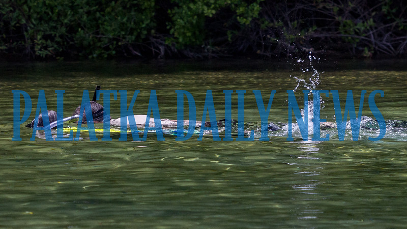 Snorkeling and looking for fish and crabs at Salt Spring kept these swimmers cool on a very hot day on Wednesday. Fran Ruchalski/Palatka Daily News