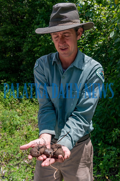 Ravine Gardens gardener and plant specialist Mike Turner holds a handful of the edible air potato variety (Discorea alata) also known as winged yams that also grows in the park. The vines are not native, can be invasive, and  have arrow-shaped leaves. Fran Ruchalski/Palatka Daily News