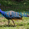 This Crescent City peacock strolls along Preston Street on Tuesday afternoon near George C. Miller Middle School. Fran Ruchalski/Palatka Daily News